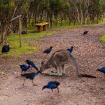 Kangaroo und seine Meute