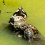 Schildkröten über Schildkröten